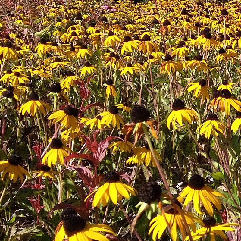 field of Black-Eyed Susans
